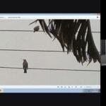 Foto de passarinho sobre fio elétrico e estudante apresentando trabalho